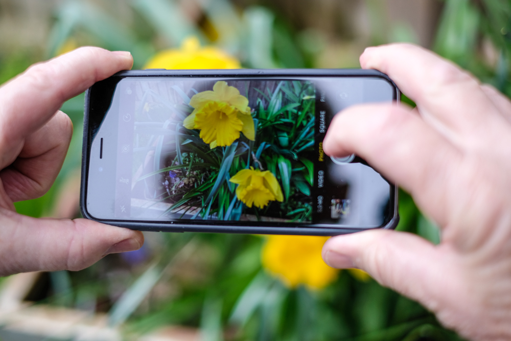 Using a smartphone to take photos of daffodils